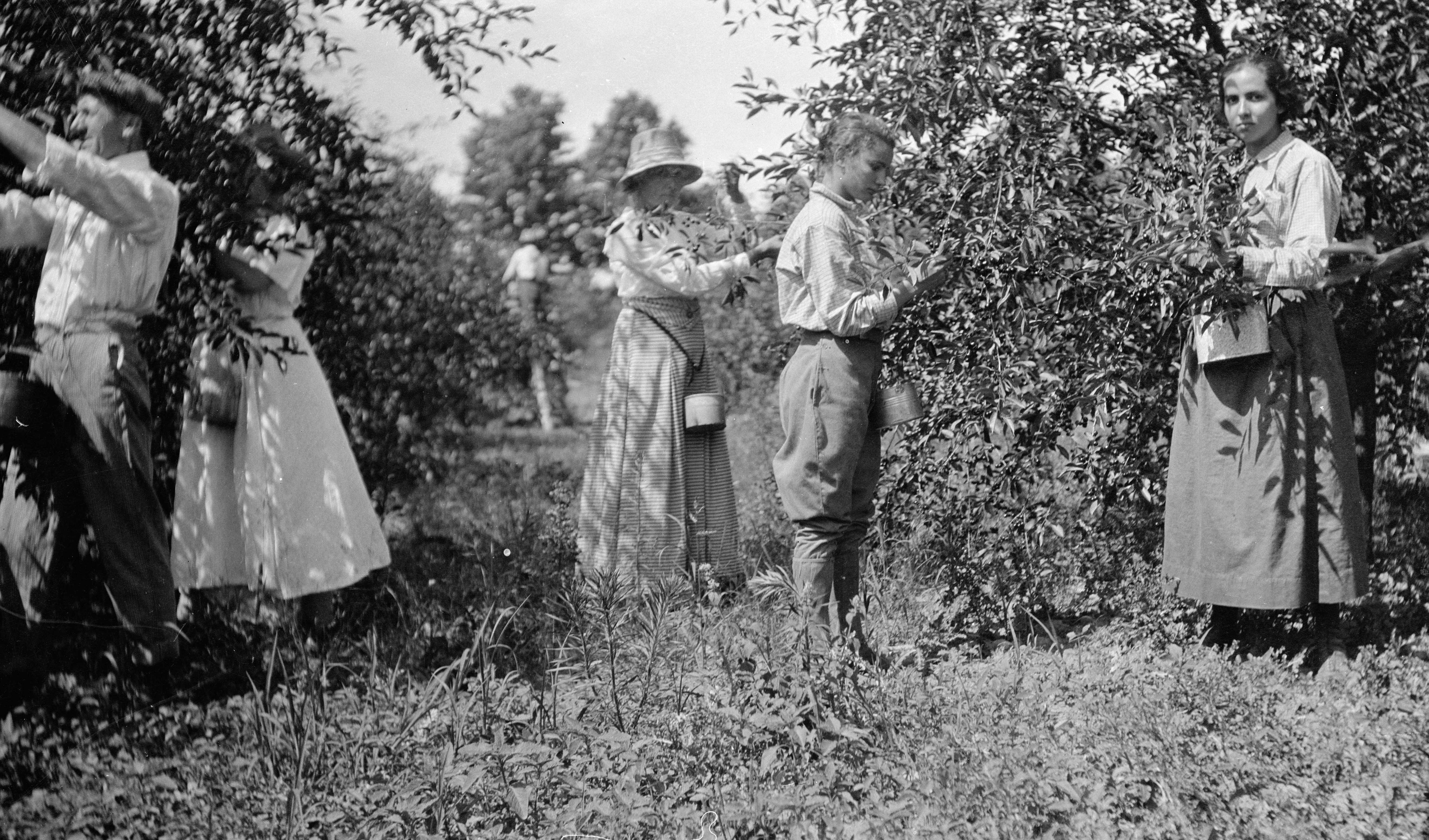 People Plucking Cherries Image courtesy of the Wisconsin Historical Society. Image ID: 93442.