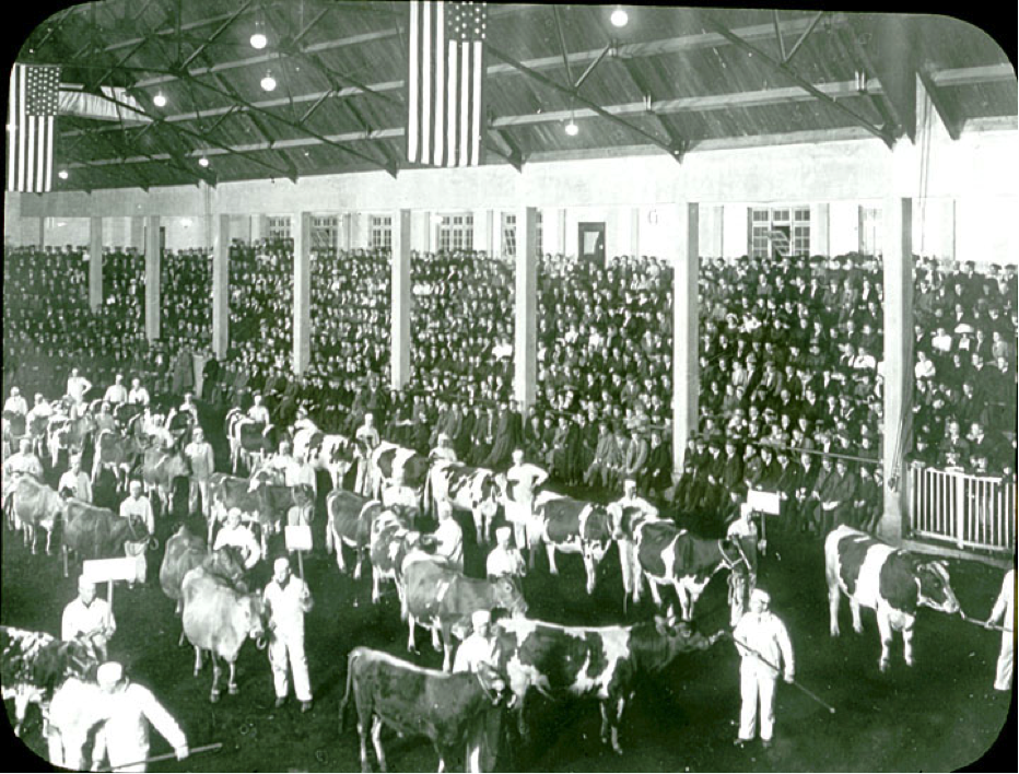 Handlers exhibit the University dairy herd for students at the Farmers Course, UW Stock Pavilion, 1900-1920. Part of the Frank N. Campbell Slide Collection. Courtesy of the University of Wisconsin Archives.