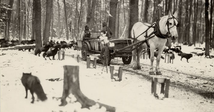 Fox handlers feeding a herd of foxes in their wooded pelting ranges, 1929. Photograph courtesy of the Marathon County Historical Society.