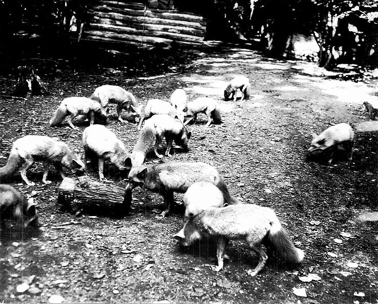 Captive foxes on a pelting range. Date unknown. Photograph courtesy of the Marathon County Historical Society.