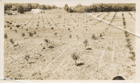 Newly planted trees at the Fardig Orchard in Ephraim, WI, c. 1930. Photo courtesy of the Ephraim Historical Foundation.