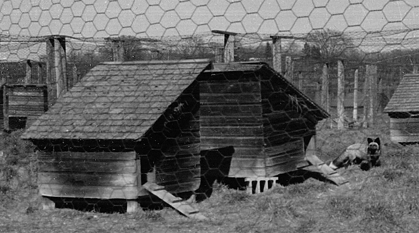 Simple pens were used to hold foxes during breeding and birth. Wire fences were used to create not only walls, but also roofs to prevent the foxes from jumping out of the enclosure. Date unknown. Photograph courtesy of the Marathon County Historical Society.