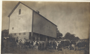 a black and white image of the Hefty-Blum barn with no additions and with cows in the foreground.